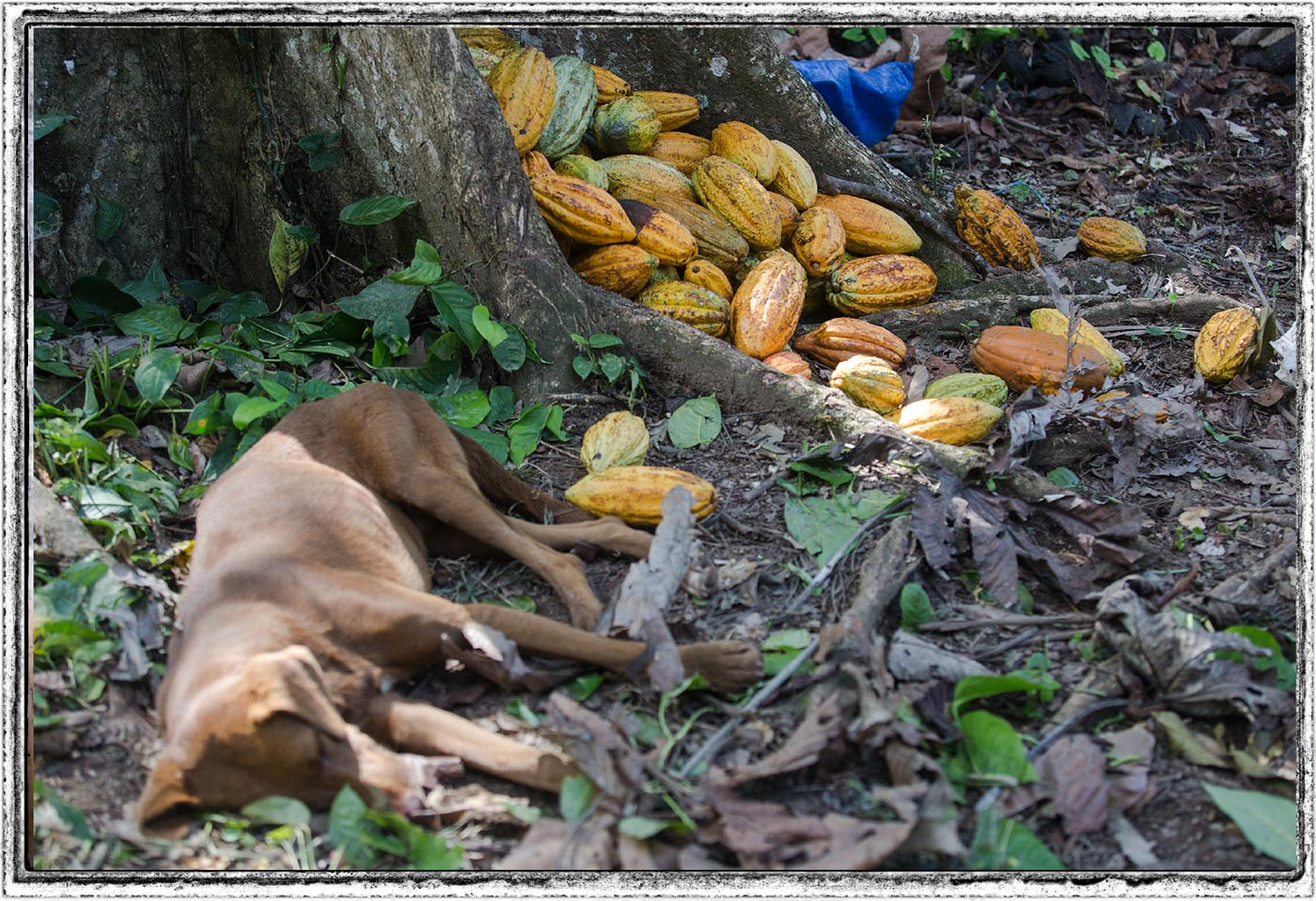 Cocoa trees. the dog rests on the plantation