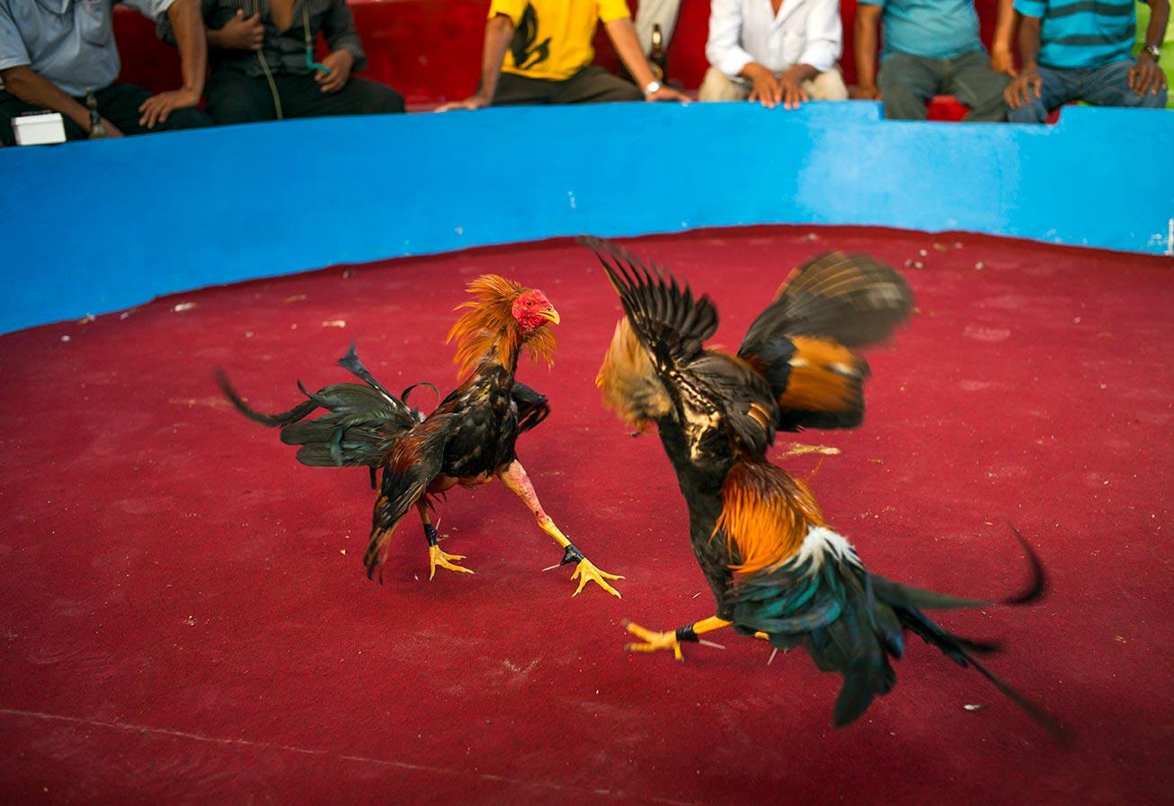 Pelea de Gallos- Juanjuí, Perú.